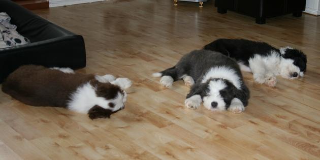 tre valper på gulvet