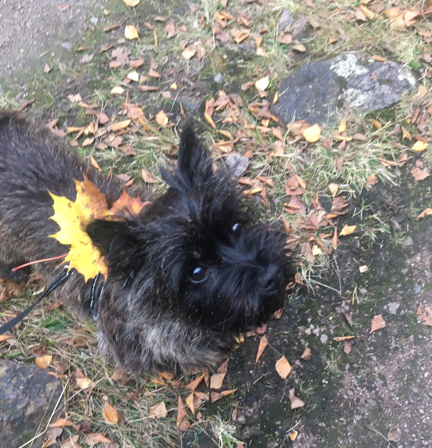 Ollie løvblad